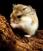 Swarovsky hamster washing