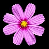 Flowerhead Of Pink Cosmea Rose. Cosmos Flower Isolated