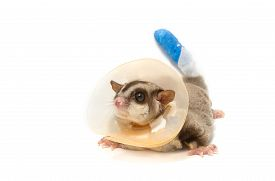 pic of glider  - sugar glider sick wearing a - JPG