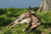 White tailed deer reclining