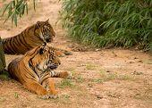Resting Tigers.