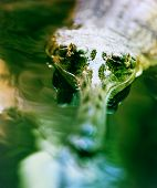 stock photo of wamp  - Crocodile lies and looking at you in Prague zoo  - JPG