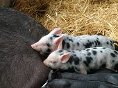 Speckled Piglets