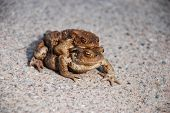 Two Mating Toads