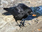 Crow Holding Food