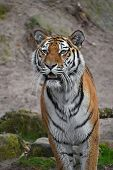 Close Up Portrait Of Siberian Amur Tiger poster