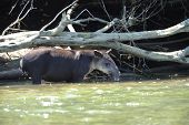 Wild Male Adult Tapir standing In River, Costa Rica