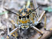 Spurthroated Grasshopper
