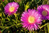 Carpobrotus Edulis-crybaby Flower Of Beaches