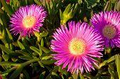 Carpobrotus Edulis-crybaby Flower Of Beaches