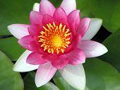 Pink Lotus Flower Closeup