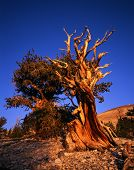 Bristlecone pine One