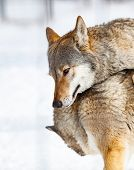 wolves playing in snow poster