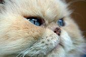 Blue Eyed Persian Cat