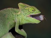 Chameleon With Fly On Tongue 2