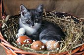 Cute Grey Little Kitten In A Wicker Basket And Easter Eggs Of Natural Red Color With Graphic Pattern poster
