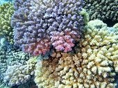 Colorful Coral Reef At The Bottom Of Tropical Sea,  Hard Coral Acropora, Underwater Landscape poster