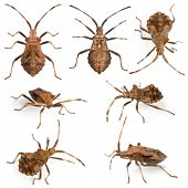 Dock bugs, Coreus marginatus, species of squash bug, in front of white background