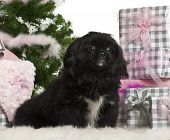 Pekingese puppy, 5 months old, sitting with Christmas tree and gifts in front of white background