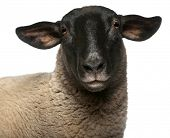 stock photo of suffolk sheep  - Female Suffolk sheep - JPG