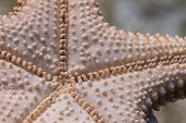 Bottom Side Of Red Cushion Sea Star (starfish) On Coral Reef Off Long Key, Florida Keys, Florida poster