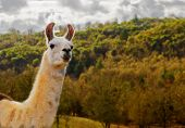 White and brown llama against fall tree colors and stormy sky