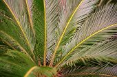 Room Brahea Palm, Sago Palm, Cycas Palm, poster