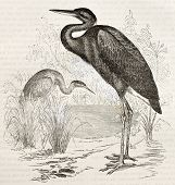 Goliath Heron old illustration (Ardea goliath). Created by Kretschmer, published on Merveilles de la
