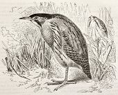 Eurasian Bittern old illustration (Botaurus stellaris). Created by Kretschmer, published on Merveill