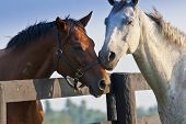 stock photo of fillies  - Two loving horses at horse farm split by fence