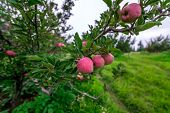 Apple Garden Nature Background Rainy Day. Gardening And Harvesting. Fall Apple Crops Organic Natural poster