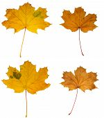 Group Of Yellow Leaves Of A Maple