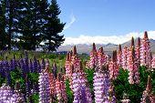 Lavenders By Lake Tekapo