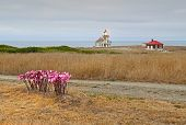 stock photo of belladonna  - The Point Cabrillo lighthouse near Mendocino California with bright pink fall flowers of Amaryllis belladonna in the foreground - JPG