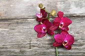 Pink Orchid(phalaenopsis)