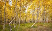 Aspen Grove In Fall, Populus Tremuloide, Up Close