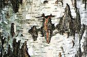 Texture of birch bark, background