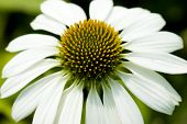 Close Up Flower Camomile