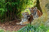 Two Cute Amur Tiger Cubs In Rocky Shelter