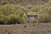 Pronghorn Antelope At Salt Lick