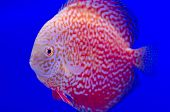 Red Symphysodon Discus In Blue