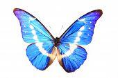 Morphidae: morpho Helena Staudinger butterfly