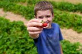 Close Up Of Young Boys Hands Picking Strawberries At A Farm During Summer