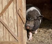 A pig comes out of his barn