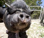 A potbellied pig comes in for a kiss