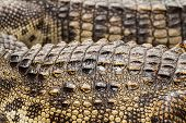 Close Up Of Crocodile Skin