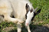 Goatling Itching
