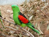 picture of king parrot  - this is a side view of an Australian king parrot - JPG