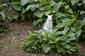 picture of wallaby  - the albino wallaby is in a field of thick greenery