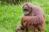 stock photo of orangutan  - Portrait of female orangutan  - JPG